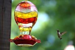 Колибри летания Стоковые Изображения