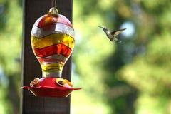 Колибри летания Стоковое Фото
