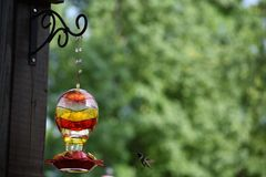 Колибри ища для нектара Стоковые Изображения RF