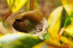 Колибри младенца Rufous замкнутого в гнезде Стоковые Фотографии RF