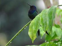 Колибри на ветви Стоковые Фото