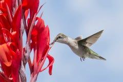 Колибри на красном цветке Стоковое Изображение
