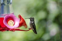 Колибри на фидере Стоковое Изображение