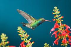 Колибри около, который нужно подать Стоковое Изображение