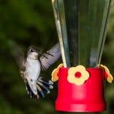 Колибри приходя внутри к фидеру стоковые изображения rf