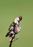 Колибри Стоковые Изображения