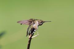 Колибри Стоковая Фотография RF