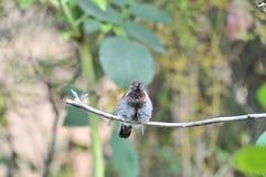 Колибри Calypte Anna ` s Анны на ветви Стоковое Фото