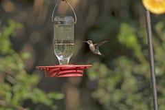 Колибри chinned чернотой в полете Стоковое фото RF