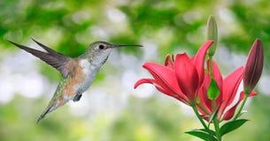 Колибри (colubris Архилоха) летая над зеленой предпосылкой Стоковые Фото
