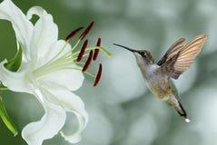 Колибри (colubris Архилоха) завиша рядом с милым lil Стоковые Фото