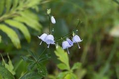 Колокол полевых цветков Стоковое Фото
