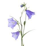 Колокольчики изолированные на белизне Rotundifolia колокольчика Стоковые Изображения