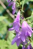 Колокольчик, проползая (rapunculoides колокольчика) Стоковое Фото