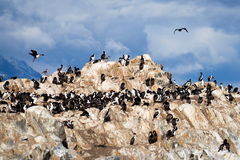 Колония альбатроса в Ushuaia Стоковое фото RF