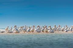 Колония белого пеликана Стоковые Фото