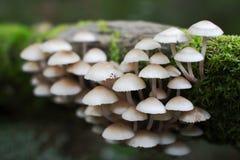 Колония гриба пуская ростии от мшистого журнала Стоковые Фотографии RF