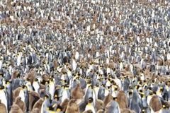 Колония короля пингвина стоковые фотографии rf