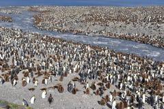 Колония короля пингвина стоковая фотография