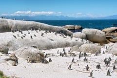 Колония маленьких пингвинов на пляже Стоковое фото RF