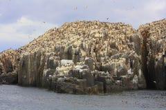 Колония морской птицы на оффшорных утесах Стоковое Изображение