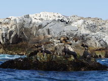Колония морсых львев Стоковые Фото