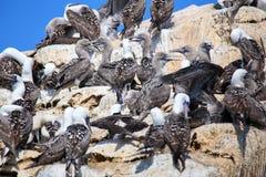 Колония перуанских олухов в запасе островов Ballestas в Перу Стоковые Фото