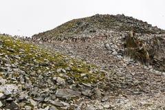 Колония пингвина Адели на гора Стоковые Изображения RF