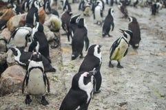 Колония пингвина в Hermanus, трассе сада, Южной Африке Стоковые Фотографии RF