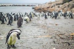 Колония пингвина в Hermanus, трассе сада, Южной Африке Стоковое Изображение RF