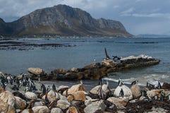 Колония пингвина в Hermanus, трассе сада, Южной Африке Стоковое фото RF