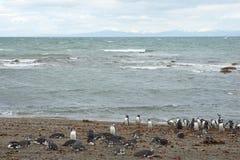Колония пингвина на аренах Punta Стоковая Фотография