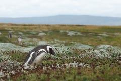 Колония пингвина на аренах Punta Стоковые Изображения