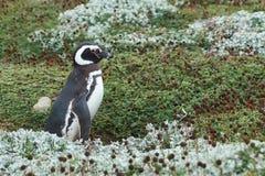 Колония пингвина на аренах Punta Стоковое фото RF