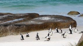 Колония пингвина на пляже Стоковые Изображения RF
