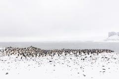 Колония пингвина Chinstrap с утесами и снегом Стоковое Изображение RF