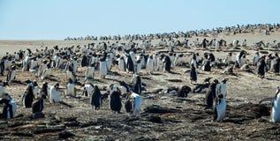 Колония пингвина Gentoo Стоковая Фотография RF