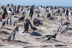 Колония пингвина Gentoo Стоковое Фото