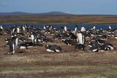 Колония пингвина Gentoo - Falkland Islands Стоковые Изображения RF