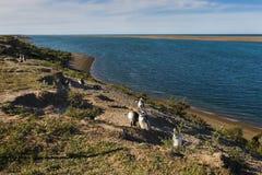 Колония пингвина Magellanic в полуострове Valdes в Argentin Стоковое Изображение RF