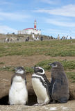 Колония пингвина Magellanic Стоковые Изображения