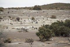 Колония пингвина Maguellanic Стоковое фото RF