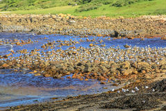 Колония птицы моря Стоковое Изображение RF