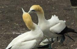 Колония птицы Gannet на пляже Окленде Новой Зеландии Muriwai Стоковая Фотография