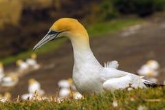 Колония птицы Gannet на пляже Окленде Новой Зеландии Muriwai Стоковые Изображения