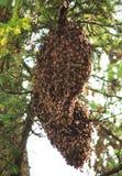 Колония пчелы меда Стоковые Изображения