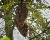 Колония пчелы меда Стоковая Фотография RF