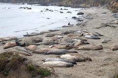 Колония слонов моря - Калифорния, Соединенные Штаты Стоковое фото RF
