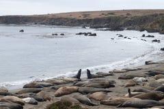 Колония слонов моря - Калифорния, Соединенные Штаты Стоковые Изображения