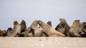 Колония уплотнений на пляже Стоковые Фотографии RF